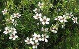 Manuka flowers aan manuka struik nieuw Zeeland